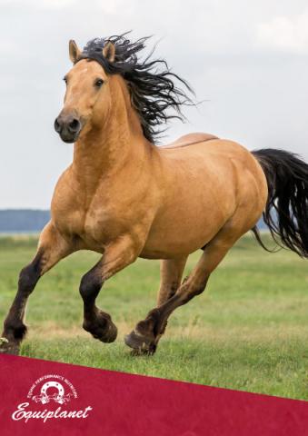 horse musculature